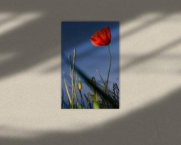 Die Mohnblume von Sven Wildschut