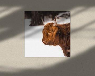 Schotse hooglander in de sneeuw van Van Renselaar Fotografie