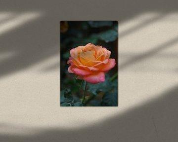 Rose, rosa und gelb von Homemade Photos