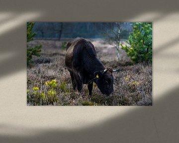 Zwarte rund in de uitgebloeide heide van Tina Linssen