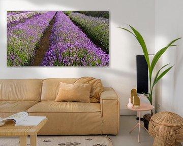 Lavendel in voller Blüte von Babetts Bildergalerie