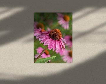 Purpurner Sonnenhut von Katrin May
