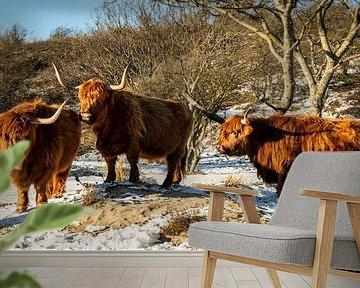 Drie Schotse hooglanders staan rustig in de sneeuw. van MICHEL WETTSTEIN