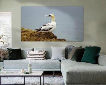 Basstölpel an den Bempton Cliffs von Babetts Bildergalerie