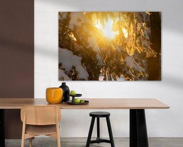 Branche de pin enneigée éclairée par le soleil couchant sur André Post