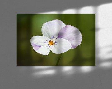 viooltje, bloem van Klaartje Majoor
