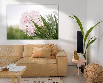 Rosa Oleander | Insel Elba | Italien | Blume | Natur von Mirjam Broekhof