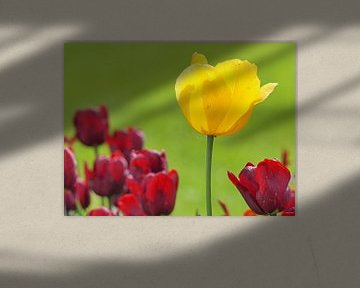 Gelbe Tulpe in rot von Katrin May