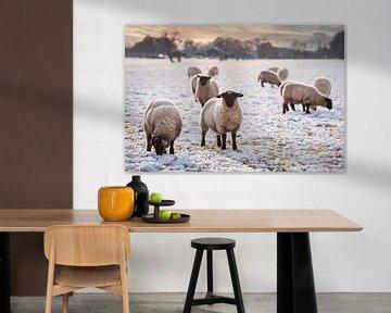 Schafe im Landhausstil in Drenthe