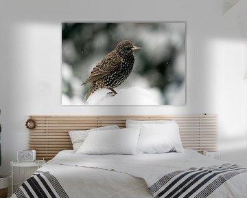 Starling im Schnee in Farbe von Brigitte Jansen