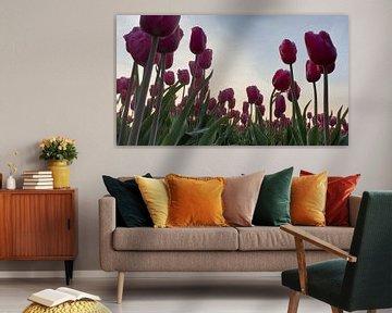 Rosa Tulpen im Gegenlicht... von Ton van Waard - Pro-Moois