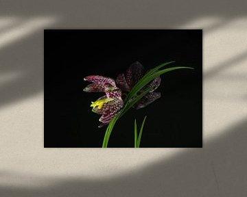 Schachbrettblume,  Fritillaria meleagris von Katrin May