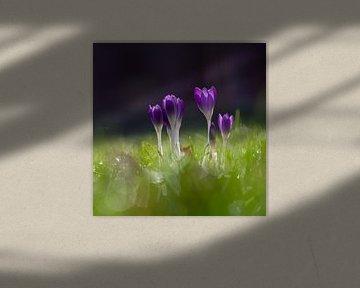 Paarse krokus bloemen brengen de vroege lente van Kim Willems