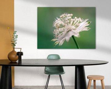 Weiße Blume von Mirjam Brozius