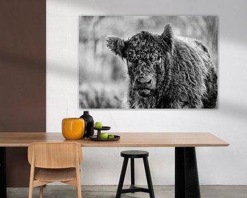 Galloway-Rinder in schwarz und weiß von Ronenvief