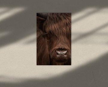 Schotse Hooglander portret in kleur van Marjolein van Middelkoop