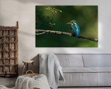 Ijsvogel van Robbie Nijman