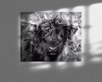 Kalf van Schotse hooglander van Carla van Zomeren