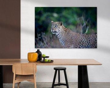 Leopard mit blauen Augen. von Louis en Astrid Drent Fotografie