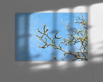 Magnolia takken in knop | Voorjaar van Iris Brummelman