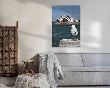 Silberkopfmöwe in Sydney