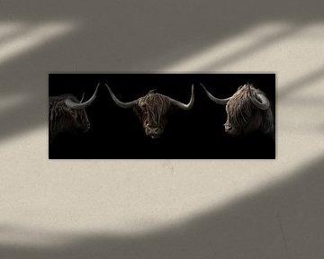 Schotse Hooglanders 3 portretten van Humphry Jacobs