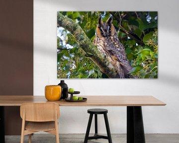 Hibou des marais sur Goffe Jensma
