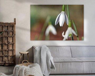 blühende Schneeglöckchen kündigen den nahenden Frühling an von Robin Verhoef