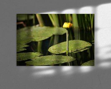Nénuphar jaune sur Ewan Mol