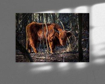 Schotse Hooglander in Witte Veen van Jan Krijbolder