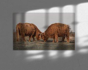 Vechtende Schotse Hooglanders van Ans Bastiaanssen