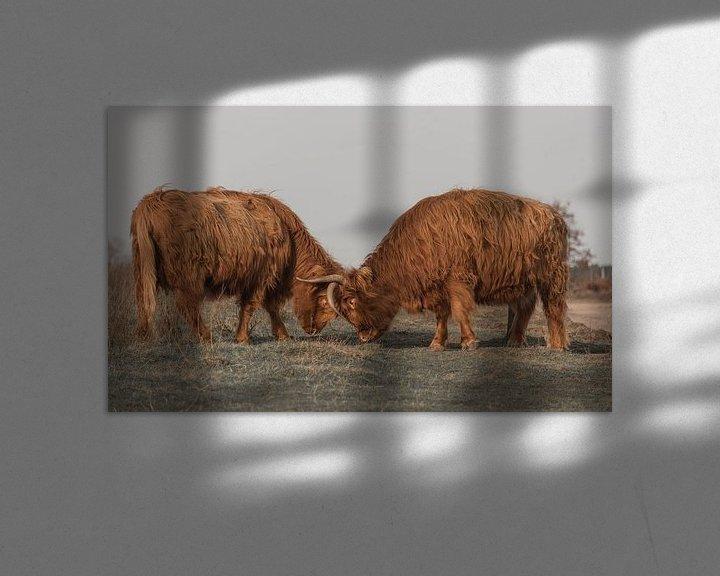 Sfeerimpressie: Vechtende Schotse Hooglanders van Ans Bastiaanssen