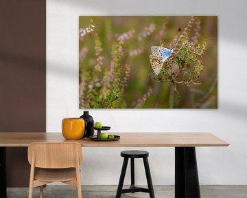 Heideblauwtjes van Bastian Boogaard