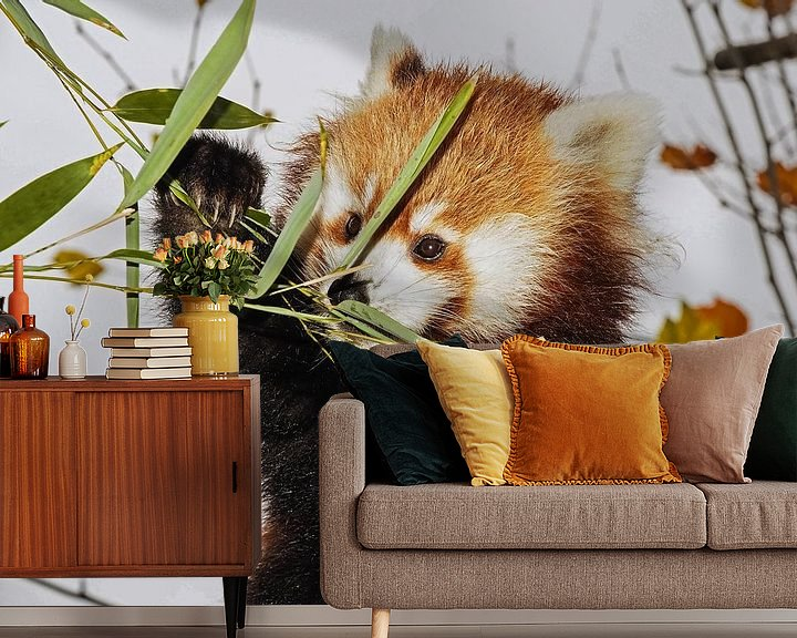 Beispiel fototapete: Junger roter Panda von Eye to Eye Xperience By Mris & Fred