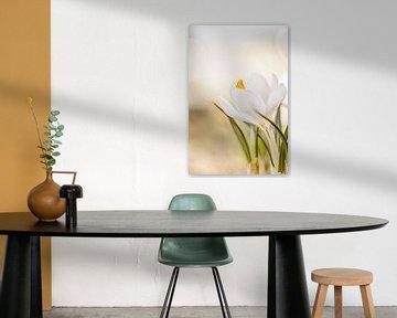 zarte weiße Krokusse von KB Design & Photography (Karen Brouwer)
