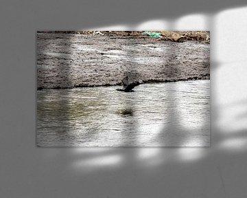 Aalscholver in beweging boven het meer van Harald Schottner
