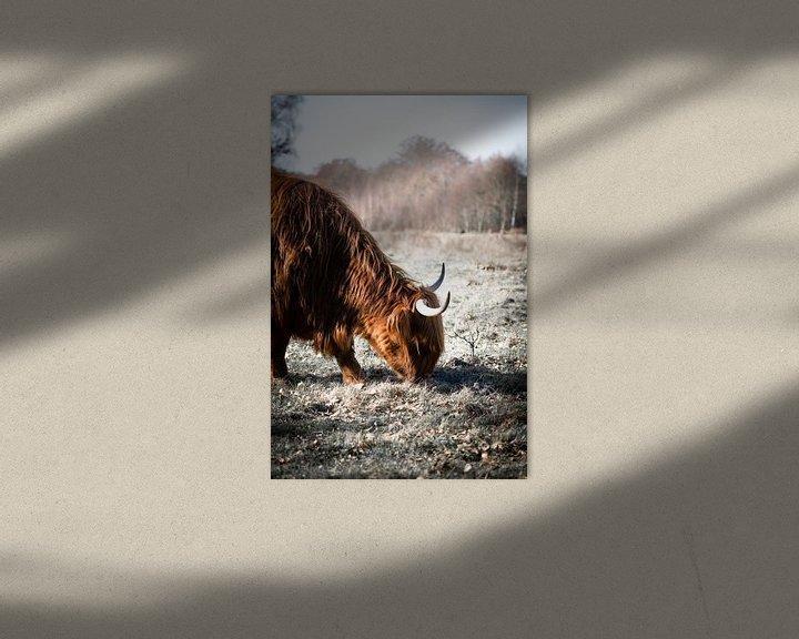 Sfeerimpressie: De grazende Schotse Hooglander van Milou Schothuis