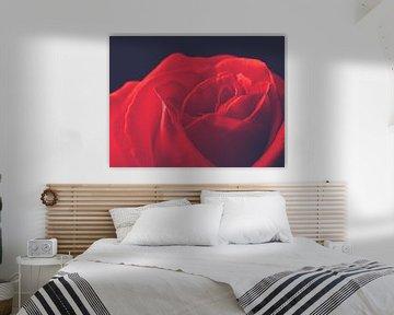 Beautiful red rose von Andreas Berheide Photography