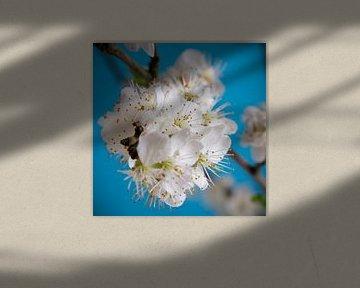 Close-up van witte bloesem voor blauwe achtergrond - vierkant van Ton van Waard - Pro-Moois