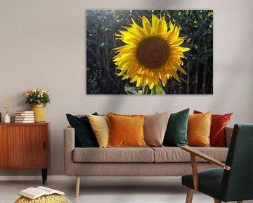 Close-up van zonnebloemen in een maïsveld