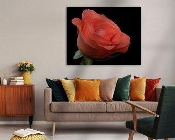 Waterdruppels op een oranje roos close up met zwarte achtergrond