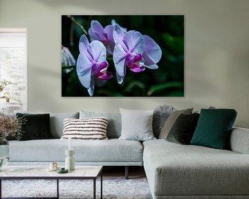 Midnight Orchids