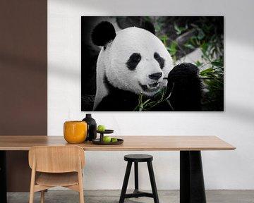 Ein niedlicher Panda volles Gesicht isst einen hellen saftigen Bambussprossen auf einem dunklen Hint von Michael Semenov