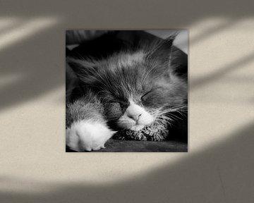 Schlafendes Maincoon-Jungtier von Comitis Photography & Retouch