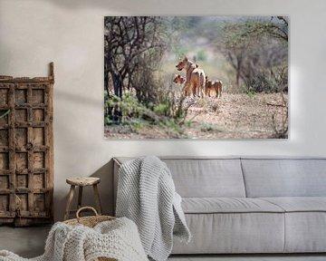 Löwin mit Jungen voller Mutterliebe im Busch des Samburu NP., Kenia. von Louis en Astrid Drent Fotografie