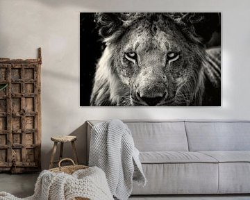 Nahaufnahme eines jungen männlichen Löwen, ein Porträt. von Louis en Astrid Drent Fotografie