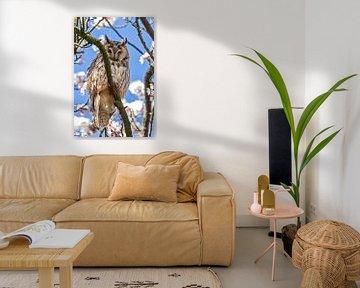 Hibou des marais sur gea strucks
