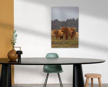 Schotse Hooglander koeien van Karin van Rooijen Fotografie
