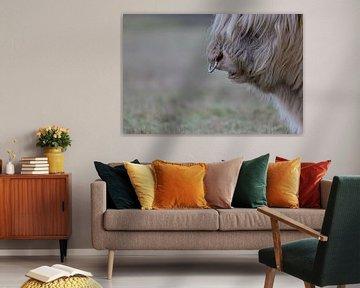 Blonde Schotse Hooglander stier met neusring, in Gasteren, Drenthe van Karin van Rooijen Fotografie