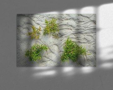 Queller (Salicornia europaea) im Watt von Peter Eckert